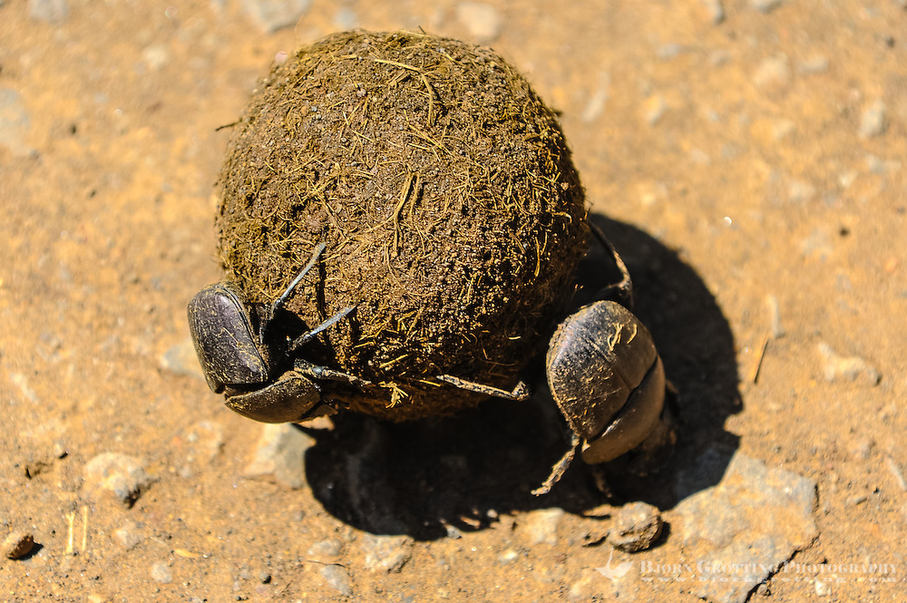 Dung beetles are beetles that feed partly or exclusively on feces. Hluhluwe-Umfolozi Game Reserve, South Africa.