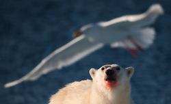 Polar bear (Ursus maritimus) looking at a Glaucous Gull (Larus hyperboreus) in flight, Spitsbergen, Svalbard