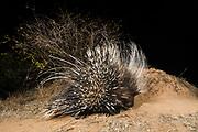 A remote camera trap captures a porcupine, Hystrix cristata, Kalama Conservancy, Samburu, Kenya.