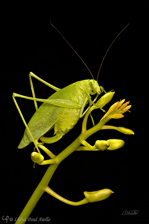 """This Fork-Tailed Bush Katydid (Scudderia furcate) is perched atop the budding flower stalk of a Dendrobium orchid. Primarily nocturnal in habit, it has become expert at camouflage by mimicking the shape and colors of the leaves upon which it feeds.  Insects in this family (Tettigoniidae) are commonly called katydids or bush crickets and more than 6,400 species are known. The Fork-Tailed Bush Katydid, is native to the United States and widespread in the eastern and southeastern regions.  Adults are 14 - 75mm (0.55 - 2.95 inches) in length and have excellent eyesight.  Katydids have much longer antennae than grasshoppers, averaging 39mm (1.53 inches) and they only produce one generation annually since the eggs require a rest period.  The males have sound-producing organs located on the hind angles of their front wings. The males use this sound for courtship, which occurs late in the summer. The sound is produced by rubbing two parts of their bodies together, a process called stridulation. The males call 24-hours a day using 2-3 chirps followed by various periods of silence while waiting for a female to respond.  The insect gets its name from the sound of the male's call: """"Katy-did"""". The tempo of the calls is governed by ambient temperature.  For American katydids, the number of chirps in 15 seconds plus 37 will be close to the outside temperature in degrees Fahrenheit."""