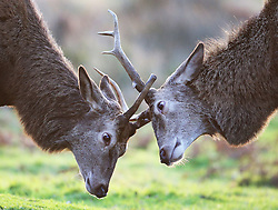© Licensed to London News Pictures. 23/12/2015. London, UK. Two red deer stags  lock antlers in Richmond Park.  Photo credit: Peter Macdiarmid/LNP