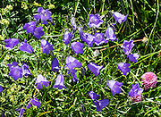 Campanula, or bellflower (in the family Campanulaceae) blooms at Bötzel pass. August is a good month to see many attractive alpine wildflowers blooming in the Alpstein limestone range, Appenzell Alps, Switzerland, Europe. Appenzell Innerrhoden is Switzerland's most traditional and smallest-population canton (second smallest by area).