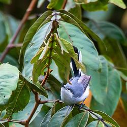 Balança-rabo-de-máscara (Polioptila dumicola) fotografado no Parque Nacional da Chapada dos Veadeiros - Goiás. Bioma Cerrado. Registro feito em 2015.<br /> ⠀<br /> ⠀<br /> <br /> <br /> <br /> <br /> ENGLISH: Masked Gnatcatcher photographed in Chapada dos Veadeiros National Park - Goias. Cerrado Biome. Picture made in 2015.