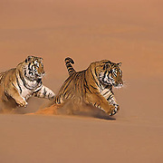 Tiger on coral sand dunes *NON EDITORIAL USE ONLY* Captive Animal.