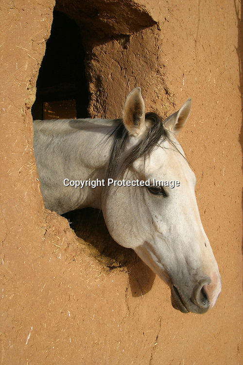 horse in morocco