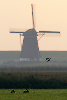 Brown Hare (Lepus europaeus), Windmill, Texel, the Netherlands
