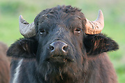 Israel, Hula Valley, a herd of Water Buffaloes