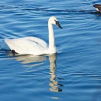 Birds - Ducks Geese Swans