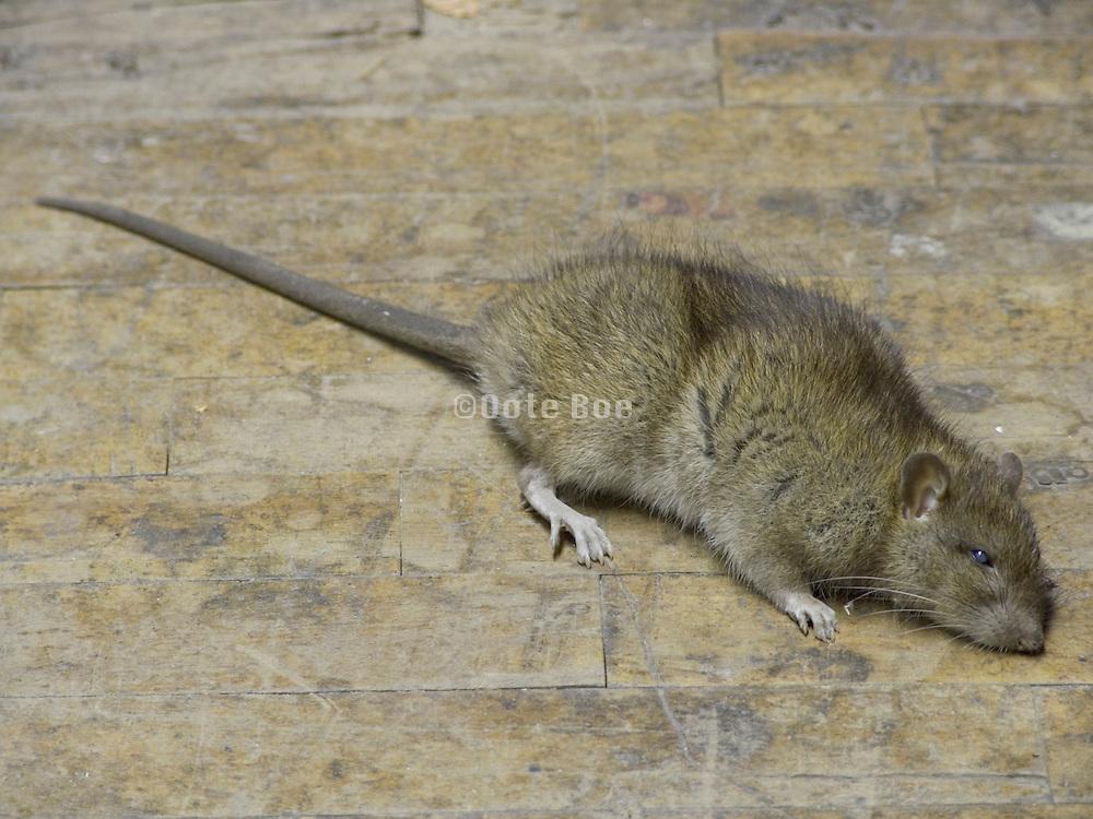 dead rat lying on wooden floor