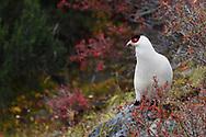White Eared Pheasant, Crossoptilon crossoptilon, in the U-shaped valley, Baima Snow Mountain Nature reserve, Yunnan, China