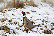 Ringed Necked Pheasant, early spring Montana.