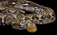 Reticulated Python, (Python reticulatus), captive