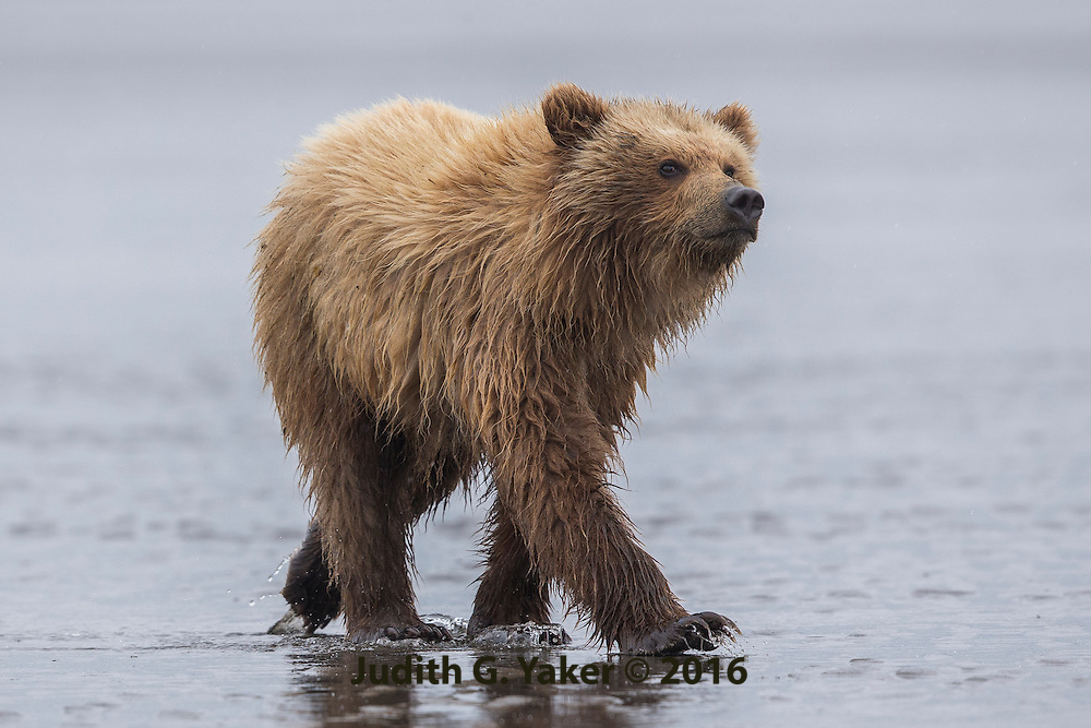 Coastal Brown Bears of Alaska