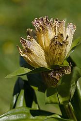Stippelgentiaan, Gentiana punctata