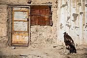 A Kazakh eagle hunter's golden eagle sitting on a perch in the sun, Altai mountains, Bayan Ulgii, Mongolia