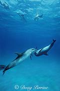 Atlantic spotted dolphins, Stenella frontalis, socializing, White Sand Ridge, Little Bahama Bank, Bahamas ( Western North Atlantic Ocean )
