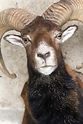 close up of a stuffed head of a bighorn mountain goat
