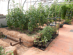 Tomato plants in straw bale beds in polytunnel at Meadows Community Gardens, Nottingham, England