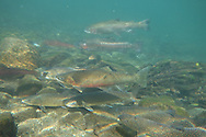 Steelhead (with Bull Trout)<br /> <br /> Todd Pearsons/Engbretson Underwater Photography