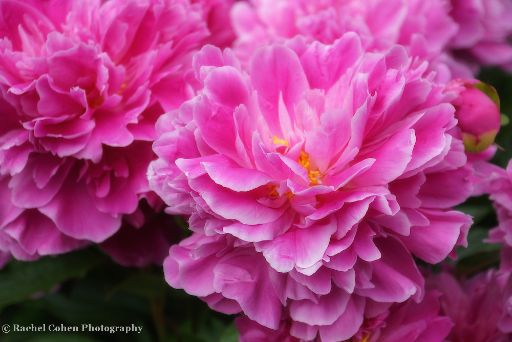 """""""Ever So Softly""""<br /> <br /> Gorgeous large pink peonies!"""
