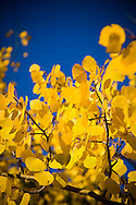 Close up of Aspen Leaves in Fall Colorado Rocky Mountains