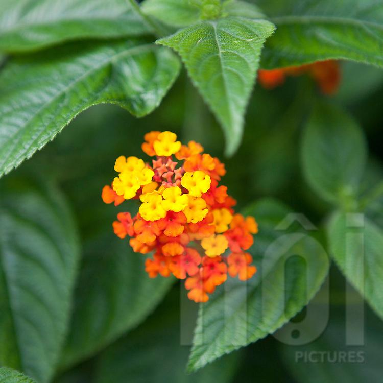 Close up of flowers. Area of Tam Dao, Vietnam, Asia
