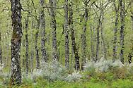 .Pyrenean oak (Quercus pyrenaica) and Lygos / Retama monosperma in Sierra de Gata, Salamanca Region, Castilla y León, Spain