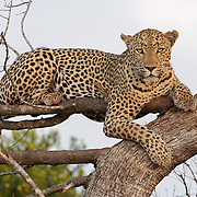 African leopard in a tree, MalaMala Game Reserve, South Africa