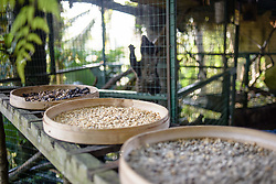 November 20, 2018 - Bali, Indonesia - Beans collected from the excrement of civets at Kopi luwak farm and plantation with a civet in a cage on the background in Ubud District, Bali, Indonesia, on November 20, 2018. Kopi luwak is coffee that includes part-digested coffee cherries eaten and defecated by the Asian palm civet. Kopi luwak has been called one of the most expensive coffees in the world. (Credit Image: © Oleksandr Rupeta/NurPhoto via ZUMA Press)