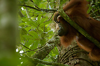 Adult female Walimah with one month old infant.<br />Resting on her back on a tree branch and looking down while scratching forhead.<br /><br />Bornean Orangutan <br />Wurmbii Sub-species<br />(Pongo pygmaeus wurmbii)<br /><br />Gunung Palung Orangutan Project<br />Cabang Panti Research Station<br />Gunung Palung National Park<br />West Kalimantan Province<br />Island of Borneo<br />Indonesia