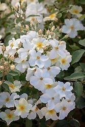 Rosa 'Kew Gardens' syn. 'Ausfence' AGM
