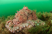Giant Pacific Octopus, Enteroctopus dofleini, rests on the ocean bottom near Browning Wall, Vancouver Island, British Columbia, Canada