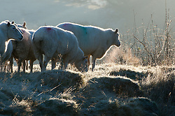 © Licensed to London News Pictures. 29/11/2016. Builth Wells, Powys, Wales, UK. After a night with temperatures dropping to several degrees below zero centigrade, sheep are seen in the small market town of Builth Wells in Powys, Wales, UK. Photo credit: Graham M. Lawrence/LNP