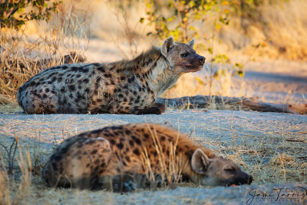 Two spotted hyenas (Crocuta crocuta) resting after returning to the den area from a night of hunting,,Khwai River, Botswana, Africa