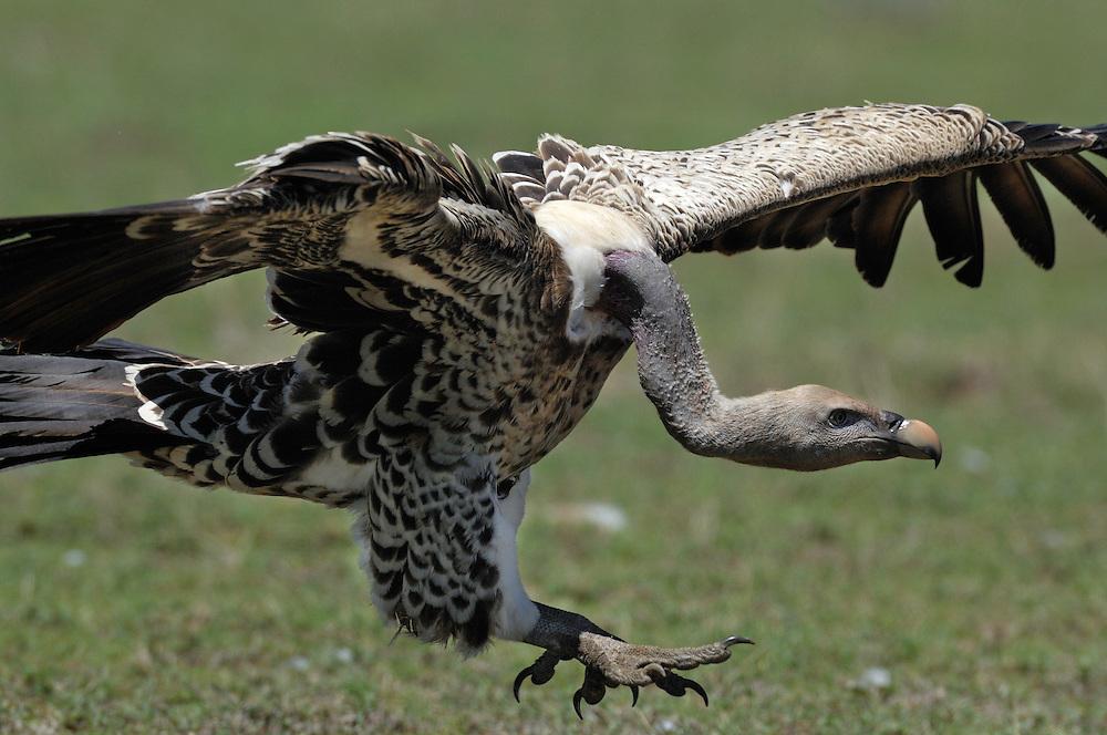 Rüppell's Vulture, Gyps rueppellii, Serengeti NP, Tanzania