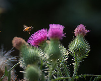 Honey Bee approaching a Thistle flower. Image taken with a Nikon D810a camera and 80-400 mm VRII lens.