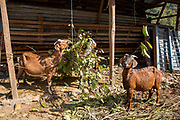 Goats eating leaves on a small holding on the 3rd of March 2020 in the mountain village of Raniswara, in Ghairung, Gorkha, Nepal. Most houses in the village have goats, they are a source of milk and meat for families.