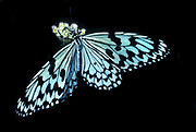 Tree Nymph Butterfly, Idea Leuconoe, Southeast Asian origin, but can also be found in Northern Australia and Southern Taiwan, paper kite, rice paper or large tree nymph