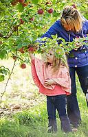 Picking apples at Stonybrook Farm in Gilford.  (Karen Bobotas Photographer)
