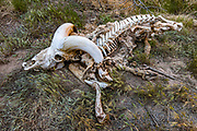 A skeleton of a desert bighorn sheep (Ovis canadensis nelsoni) rests in Mohawk Canyon, at Colorado River Mile 171.9 on Day 13 of 16 days rafting through Grand Canyon National Park, Arizona, USA. 31 years after I last rafted the Grand Canyon in 1990, I noticed lots more (dozens of) native bighorn sheep in 2021, a healthy sign for this fascinating ecosystem, which is gradually recovering since nonnative wild burros were removed in the 1960s. Since Glen Canyon Dam was completed in 1966, floods no longer scour the vegetation or deposit as much sand on the diminishing beaches (which affects rafters). Aggressive nonnative species such as tamarisk trees continue to threaten native riparian biodiversity.