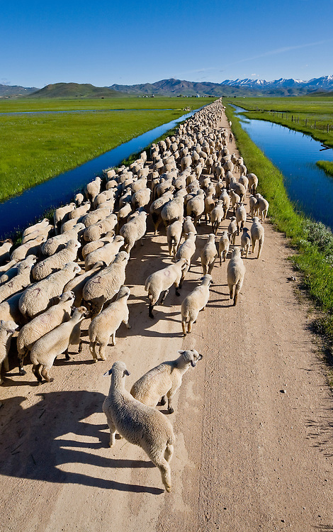Huge flock of sheep are herded along a Camas Prairie dirt road toward Hill City in spring wetlands.  Licensing and Open  Edition Prints.