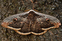 Giant peacock moth, Saturnia pyri, Studen Kladenets reserve, Eastern Rhodope mountains, Bulgaria