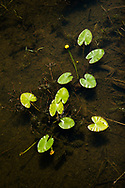 Wild pond lily (Nuphar) leaves and yellow flowers float at the surface of a shallow, slow-moving stream in Riding Mountain National Park, Manitoba