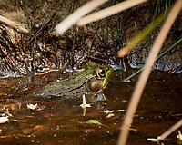 Kermit the Bullfrog. Image taken with a Nikon N1V3 camera and 70-300 mm VR lens (ISO 560, 272 mm, f/5.6, 1/250 sec)