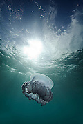 A blue jellyfish floats in the ocean current in the Kingdom of Tonga