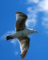 Herring Gull (Larus argentatus), Viewed from the deck of the Wemyss Bay - Rothesay Ferry, Scotland. Image taken with a Nikon Df camera and 70-200 mm f/4 VR lens.