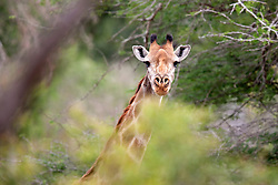 A young giraffe (Giraffa camelopardalis) peers from behind a tree. Kruger National Park, South Africa