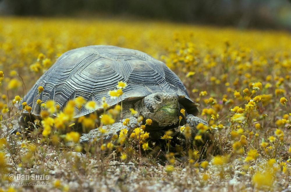 Desert tortoise, Gopherus agassizi (Xerobates agassizi), surrounded by goldfields, Lasthenia chrysostoma. State- and Federally-listed Threatened Species. Desert Tortoise Natural Area, Mojave Desert, California.
