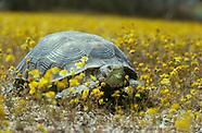 Desert Tortoise, Gopherus agassizii