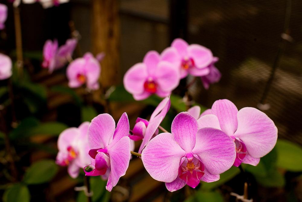 Venda Nova do Imigrante_ES, Brasil...Detalhe de orquideas...Orchids detail...Foto: LEO DRUMOND / NITRO